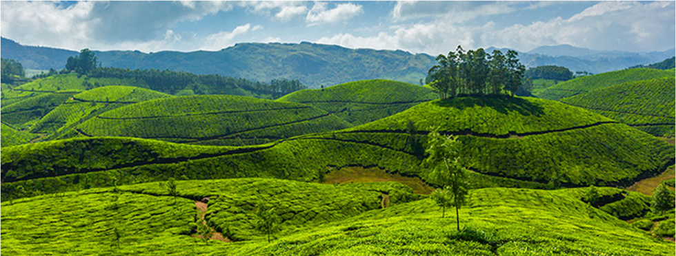 Tea-Estate-Ooty.jpg