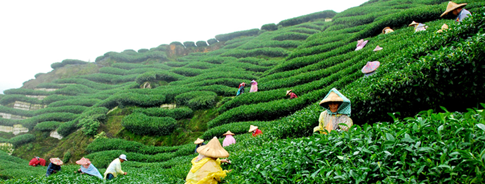 darjeeling-tea-estate.jpg